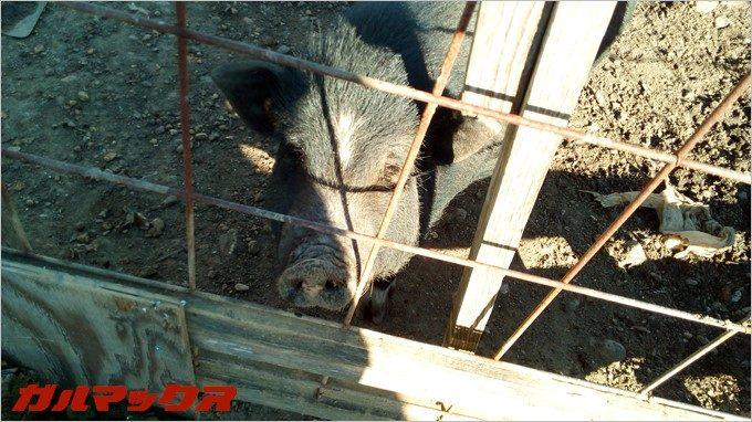 BLUBOO Edgeで豚さんの子供を撮影