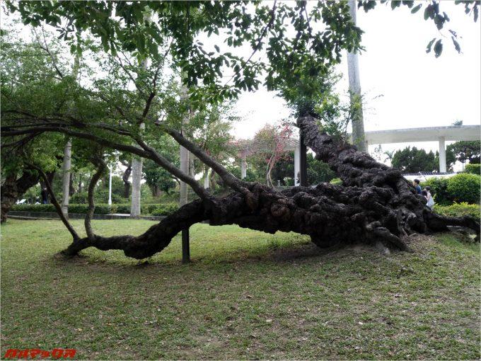 台南公園のでっかい木2。