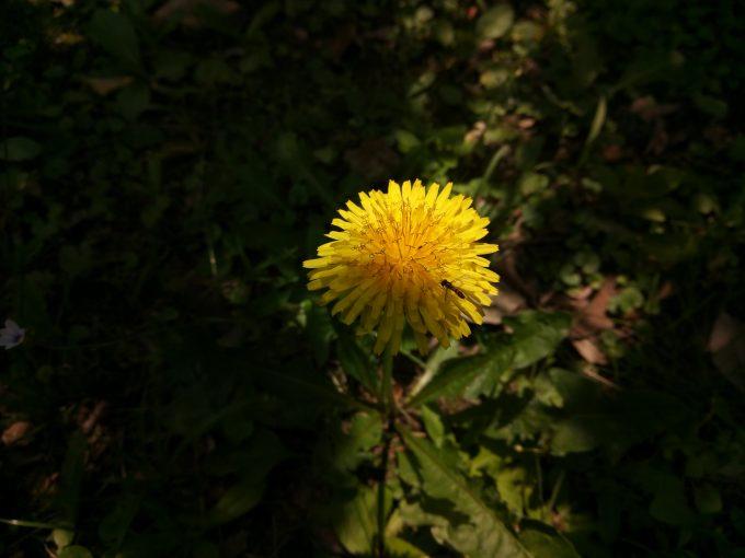 UHANSのS1で植物園でたんぽぽを撮影