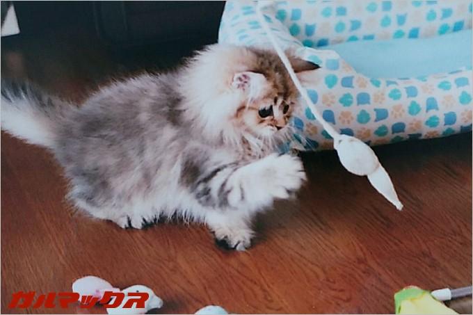 猫パンチを放つジョコちゃん